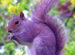 RMS purple squirrel